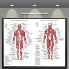 Details About Human Body Muscle Anatomy System Poster Anatomical Chart Educational Poster New