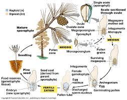 Angiosperm Vs Gymnosperm Venn Diagram Gymnosperm Seed Anatomy Diagram Bramosys Com