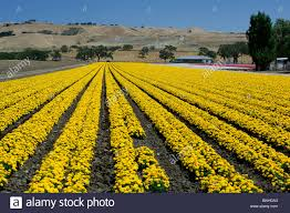 usa gilroy california flower fields near gilroy field yellow flowering farming agriculture landscape hills united states of