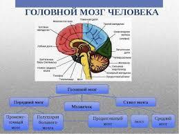 РЕФЕРАТ Структурно функциональная организация больших полушарий  От мозга зависит абсолютно вся жизнедеятельность человеческого организма