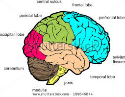 similiar lateral view brain diagram labeled keywords view in diagram labeled sagittal get image about wiring diagram