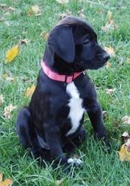 american bulldog lab mix. Perfect American A Black With White American Bullador Puppy Is Sitting In Grass And It  Looking To  For Bulldog Lab Mix I
