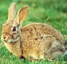 Resultado de imagen de carne de conejo