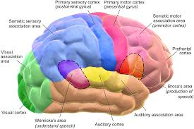 Image result for brain functions