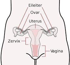 welche hormone produziert die gebärmutter
