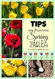 tips for planting spring bulbs from how does your garden grow thefarmgirlgabs