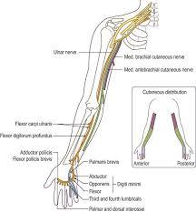 ulnar nerve motor imprea net
