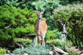 the best deer repellent reviews keep deer out of the vegetable garden dealing with deer
