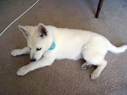 white german shepherd husky mix puppy. Beautiful Husky Click Image For Larger Version Name 4jpg Views 30247 Size 681 In White German Shepherd Husky Mix Puppy M