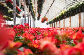 garden center nj. Variety Growers Neptune NJ 07753_ Garden Centers In NJ_Flower Shops Distributors Shop NJ_Begonias_4 Center Nj