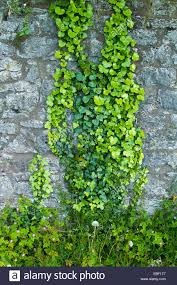 House Wall Climbing Plants Stock Photos  Download 594 ImagesWall Climbing Plants