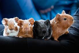 Timing Guide To Breeding Guinea Pigs