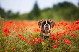 pretty flowers that are deadly to dogs