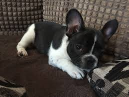 ready to leave french bull dog puppies only  l  hounslow
