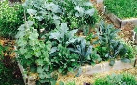 Brussels Sprouts Plants Grow Best When Planted For A Fall Harvest Fall Garden Crops