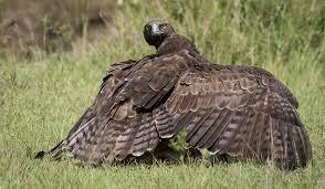 The Worlds Largest Eagles Worldatlas Com
