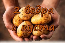 Как получить высокий урожай картофеля ru 2 ведра картошки с куста