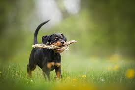 rottweiler dog. rottweiler puppy dog