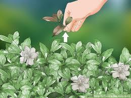 image titled prune a gardenia bush step 1