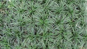 Image of: Dwarf Mondo Grass Picture