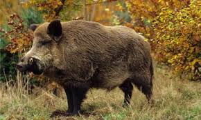 Hundreds Of Wild Boars Face Cull In Forest Of Dean Wild Boar And