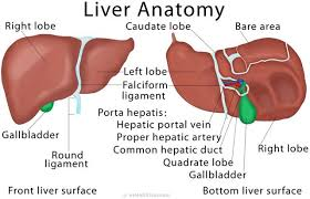 Liver Anatomy Liver Anatomy Physiology Pathology And Care Steemit