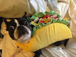 pug in taco costume. Beautiful Taco Boston Terrier Surprise And Costume Image And Pug In Taco Costume