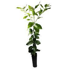 growscripts 4 inch citrus lemon tree