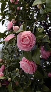 Wallpaper Camellia, Flowering, Shrubs ...