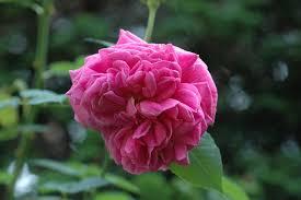 Perfumed RosesFragrant Rose Plants
