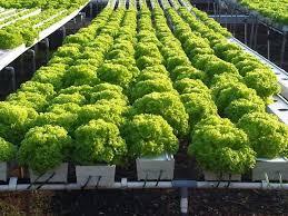 bercocok tanam secara hidroponik mutlak membutuhkan green house Green house  bisa dibuat dari rangka besi rangka bambu atau rangka kayu