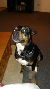 best ideas about rottweiler mix welpen spike my mean vicious pitbull rottweiler mix so smart so loving