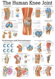 The Human Knee Joint Anatomical Chart
