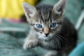 coughing in cats symptoms causes