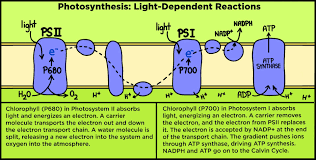 Picture Of Light Reaction Light Reaction Expii