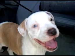 pitbull dog puppies white. Perfect Pitbull For Pitbull Dog Puppies White I