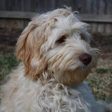Small Picture Australian Labradoodle Puppies IvyLane of PA 717 512 6611