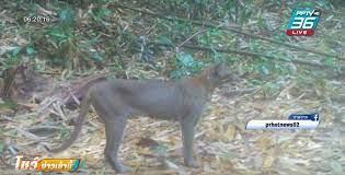 """หาดูยาก """"เสือไฟ"""" ตัวเป็นๆ โผล่โชว์ตัว เขตอนุรักษ์พันธุ์สัตว์ป่ากรมหลวงชุมพร  : PPTVHD36"""