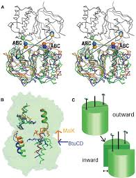 the 3d structure of a periplasm spanning platform required for the 3d structure of a periplasm spanning platform required for assembly of group 1 capsular polysaccharides in escherichia coli
