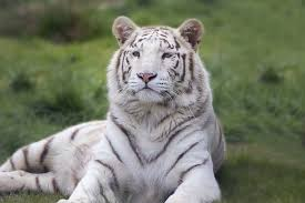white tiger. Contemporary Tiger White Tiger To A