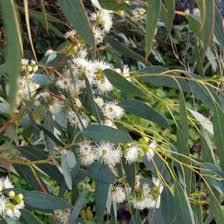 <b>Эвкалипт</b> шаровидный (<b>Eucalyptus</b> globulus), Австралия (5 мл ...