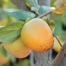 Prok American Persimmon  Persimmon Trees  Stark Brou0027sFull Size Fruit Trees For Sale