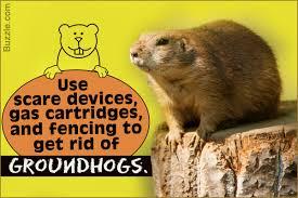 getting rid of groundhogs mothballs. Modren Groundhogs And Getting Rid Of Groundhogs Mothballs