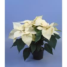 Weihnachtsstern Verschiedene Farben Topf ø Ca 13 Cm Euphorbia Pulcherrima