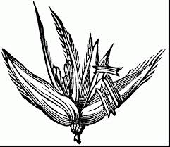 Small Picture good corn cob coloring page with corn coloring pages