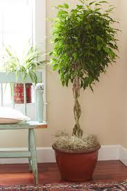 Tips For Caring For Your Ficus Tree  HGTVIndoor Fruit Trees Low Light