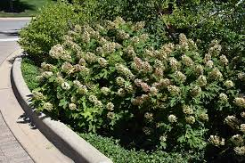 Snow Queen Hydrangea (Hydrangea quercifolia 'Snow Queen') in Chicago  Downers Grove Naperville Hinsdale Lisle Illinois IL at Wannemaker's Home &  Garden