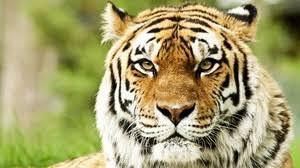 8 3 1366x768 92540 tiger gl shards preview wallpaper tiger face color striped predator