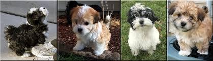 Puppy Development Dulce Havanese