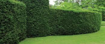 evergreen plants fences
